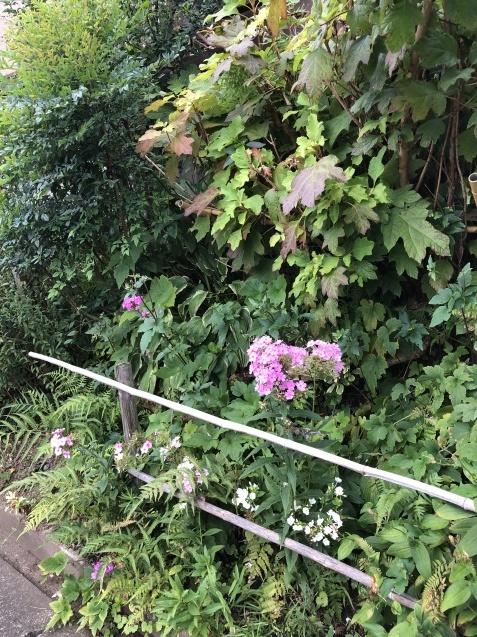 アプローチ花壇、「エキナセア'デリシャス・ナゲット'」の植え込みとエキナセア'グリーンエンジェル'その後_a0243064_12055217.jpg