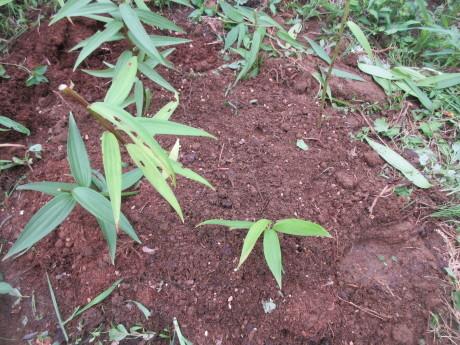 山百合を植え替える_a0203003_20340968.jpg
