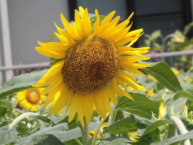 太陽に向かい大輪が咲き誇る! 津田の先輩・井出靖和さんのヒマワリ畑_f0141310_07150553.jpg