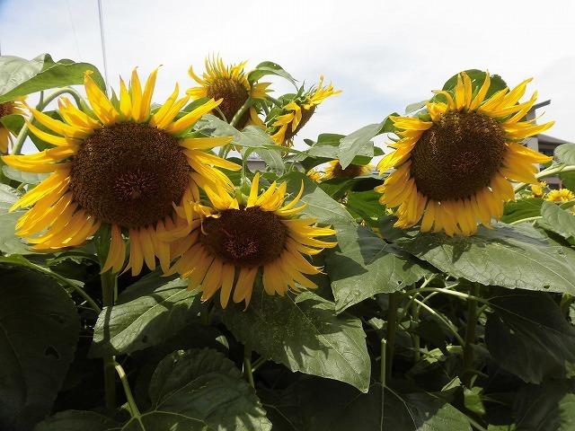 太陽に向かい大輪が咲き誇る! 津田の先輩・井出靖和さんのヒマワリ畑_f0141310_07151293.jpg