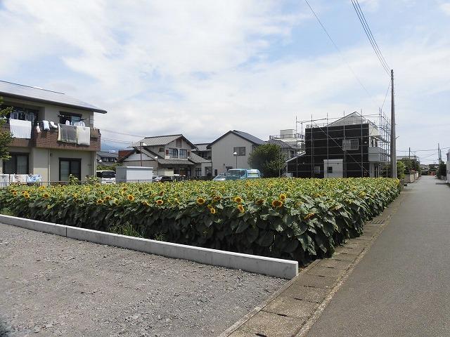 太陽に向かい大輪が咲き誇る! 津田の先輩・井出靖和さんのヒマワリ畑_f0141310_07161550.jpg