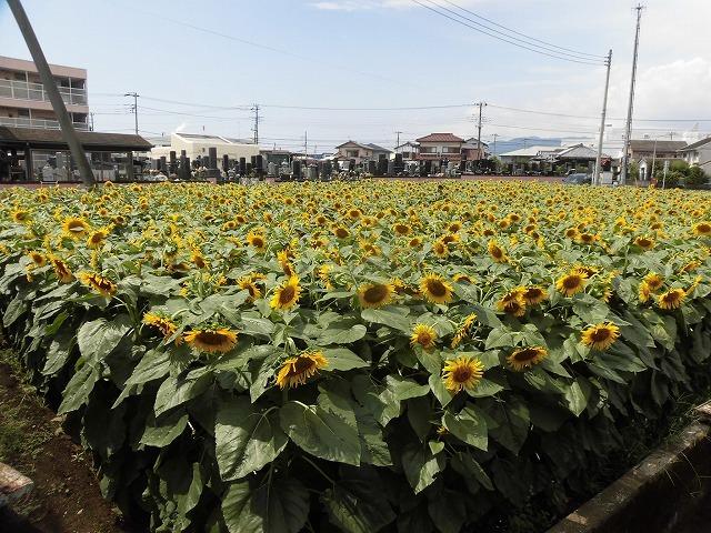 太陽に向かい大輪が咲き誇る! 津田の先輩・井出靖和さんのヒマワリ畑_f0141310_07164152.jpg