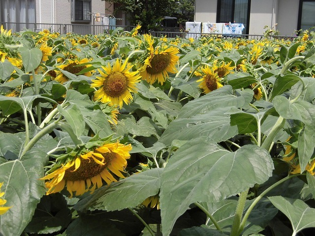 太陽に向かい大輪が咲き誇る! 津田の先輩・井出靖和さんのヒマワリ畑_f0141310_07165879.jpg