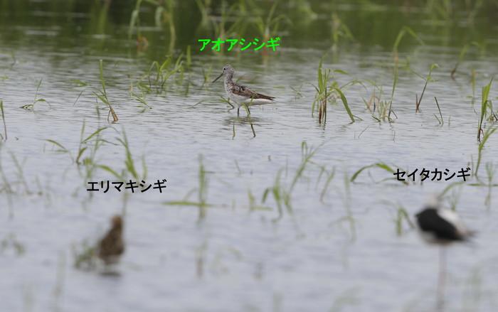 休耕田で渡りの立ち寄りエリマキシギに逢う_f0239515_1710404.jpg