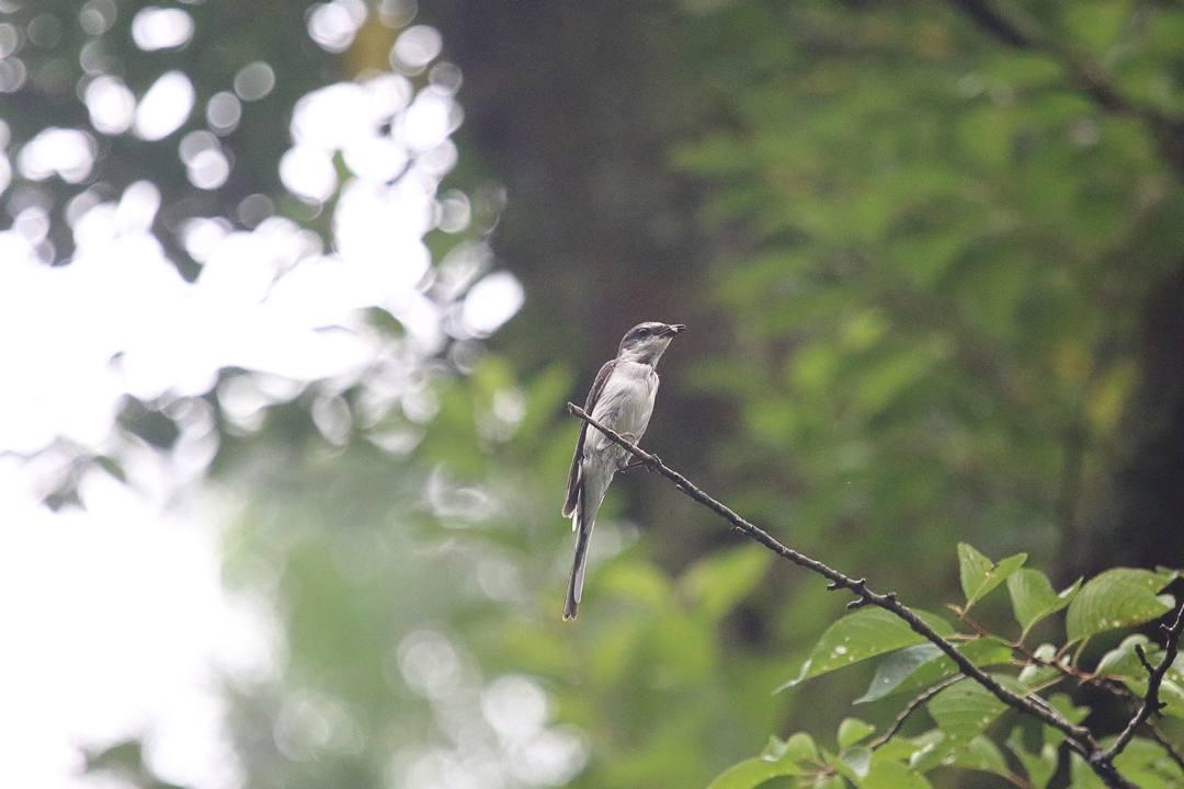 ブログテーマ『鳴いた!見つけた!夏の野鳥だより大募集!』_f0357923_13054428.jpg