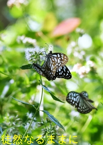 台湾の蝶たち_d0285540_06522029.jpg