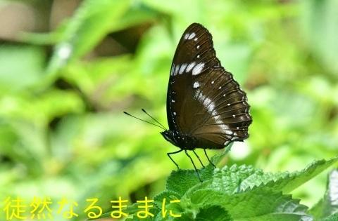 台湾の蝶たち_d0285540_06522713.jpg