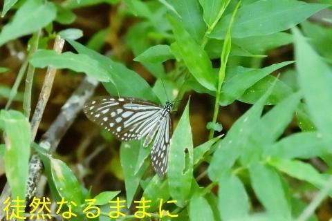 台湾の蝶たち_d0285540_06523321.jpg