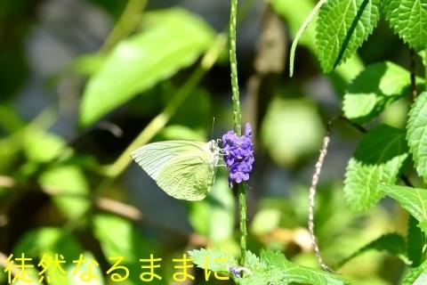 台湾の蝶たち_d0285540_06523986.jpg