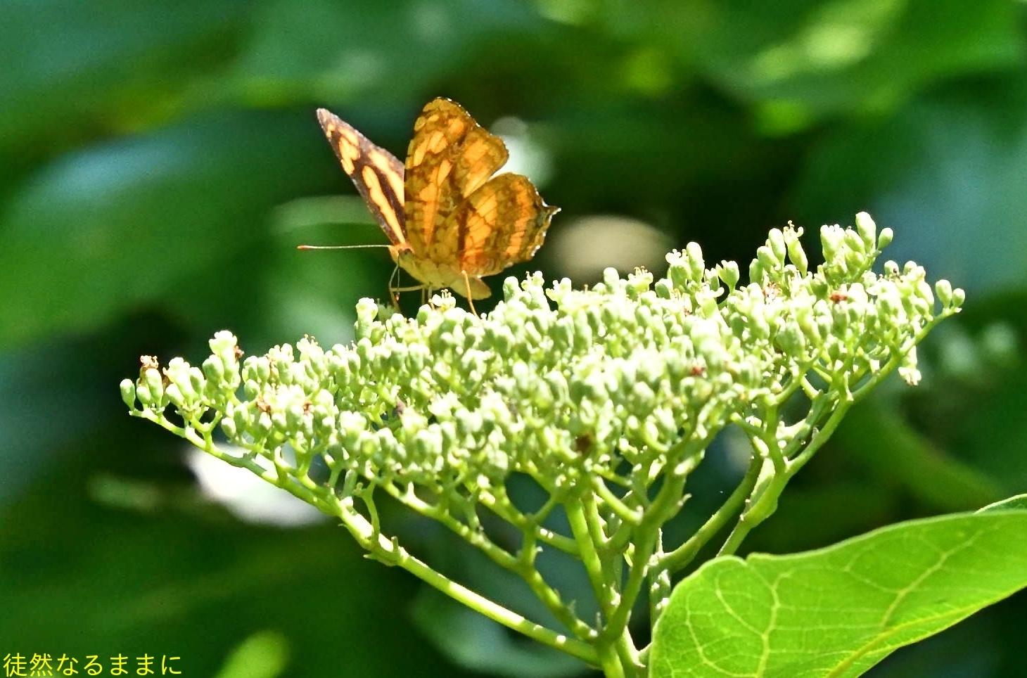 台湾の蝶たち_d0285540_06524546.jpg