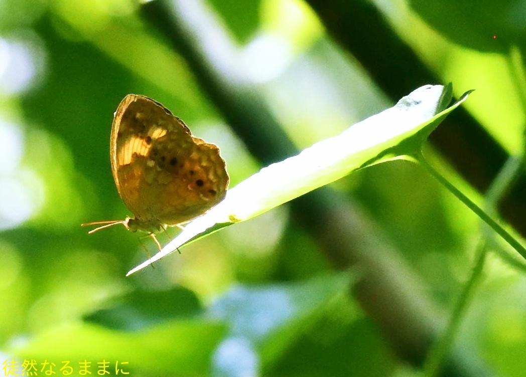 台湾の蝶たち_d0285540_06525040.jpg