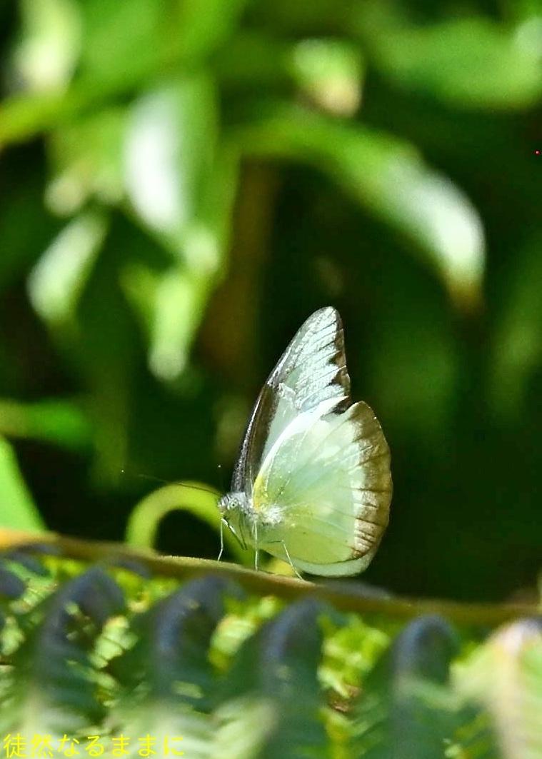 台湾の蝶たち_d0285540_06525609.jpg