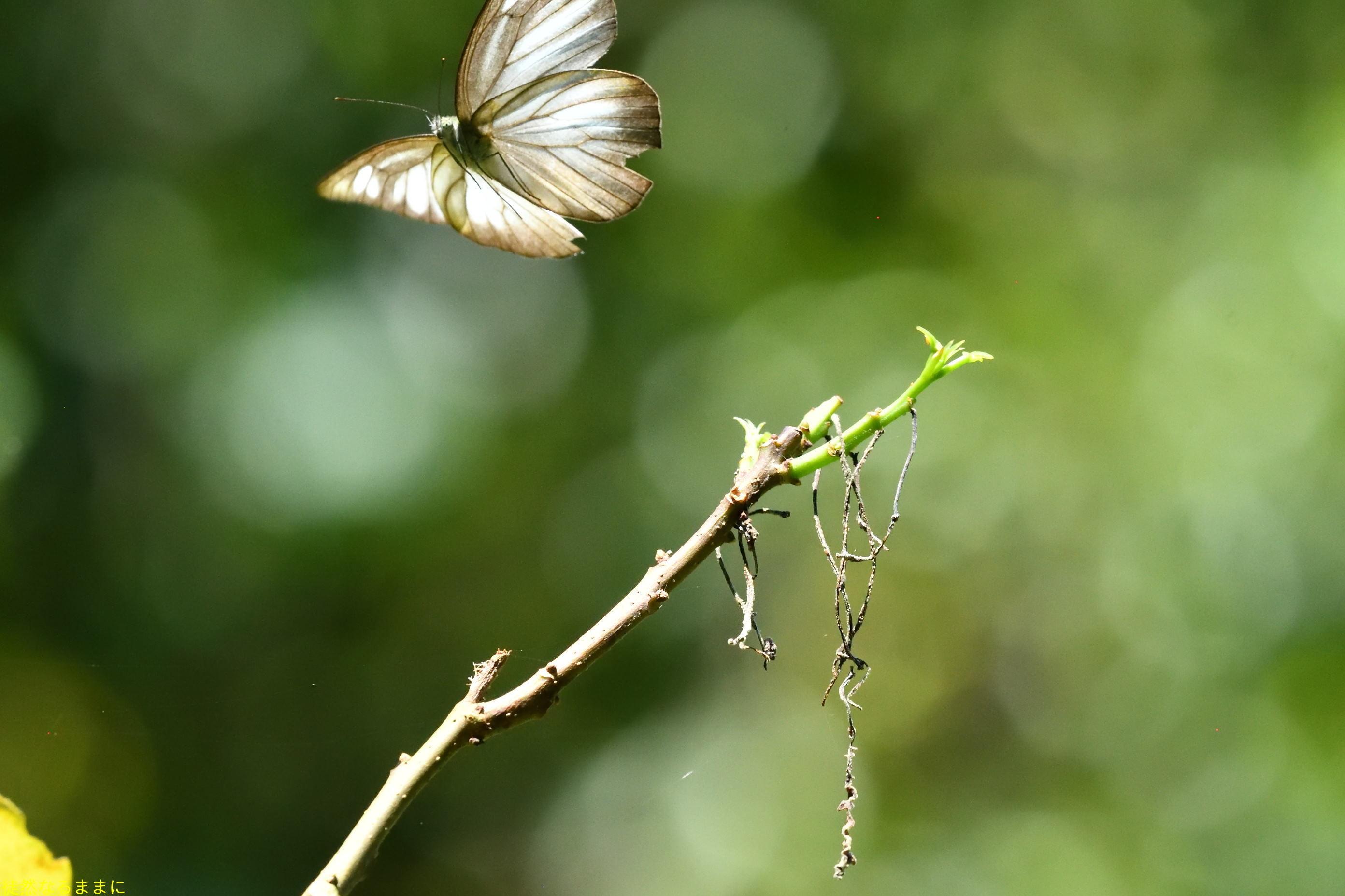 台湾の蝶たち_d0285540_06530291.jpg