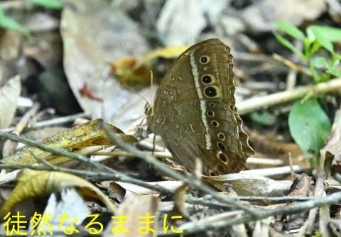 台湾の蝶たち_d0285540_06530902.jpg