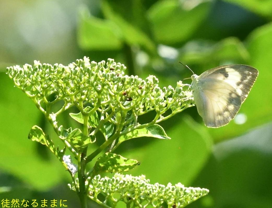 台湾の蝶たち_d0285540_06531523.jpg
