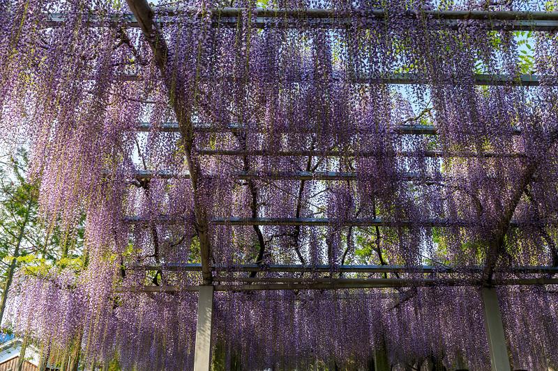 三大神社の藤_f0155048_0251796.jpg