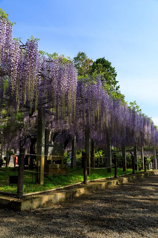 三大神社の藤_f0155048_0261977.jpg