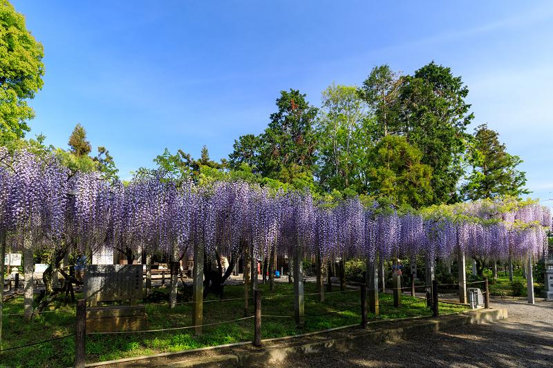 三大神社の藤_f0155048_0264562.jpg