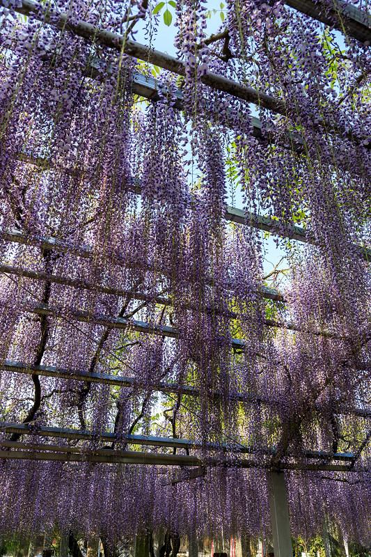 三大神社の藤_f0155048_026973.jpg