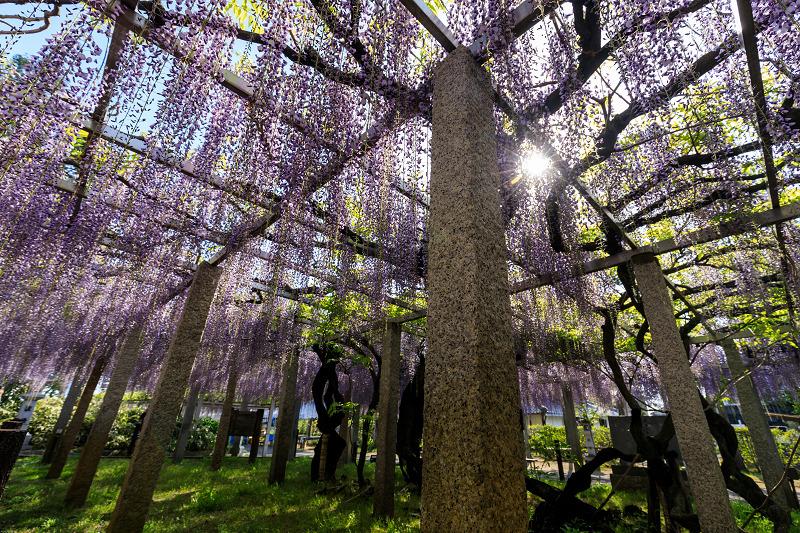 三大神社の藤_f0155048_027353.jpg