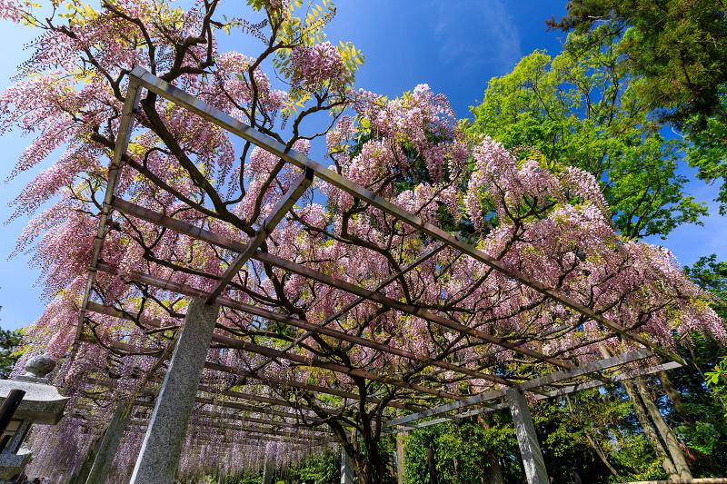 三大神社の藤_f0155048_0283835.jpg
