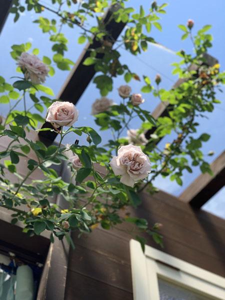 薔薇が咲き始めました 2019_f0141971_18204624.jpg