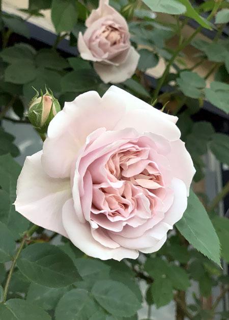 薔薇が咲き始めました 2019_f0141971_18212032.jpg