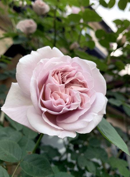 薔薇が咲き始めました 2019_f0141971_18213199.jpg