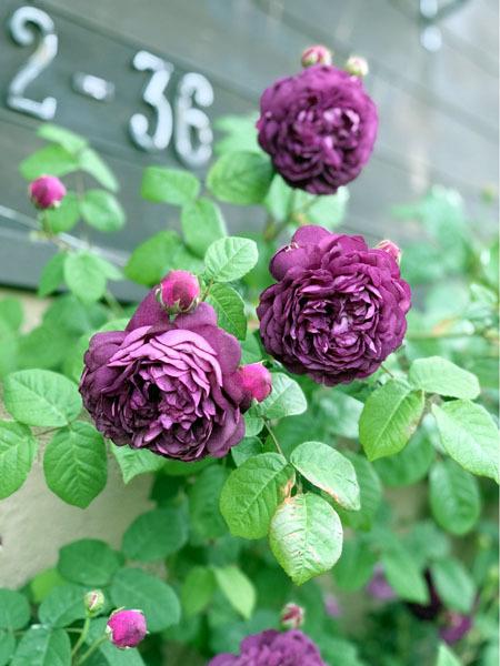 薔薇が咲き始めました 2019_f0141971_18232871.jpg