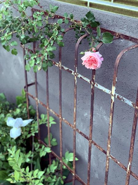 薔薇が咲き始めました 2019_f0141971_18244330.jpg