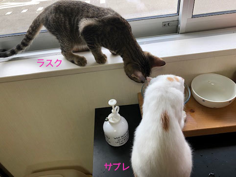 サブレの卒業の朝&迷子かな?キジトラ長毛男子_d0071596_22074479.jpg