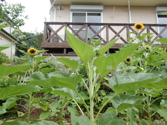 '19,8,24(土)やっと向日葵が咲き始めました!_f0060461_09385721.jpg