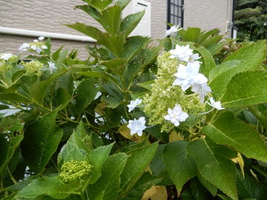 '19,8,24(土)やっと向日葵が咲き始めました!_f0060461_09413280.jpg