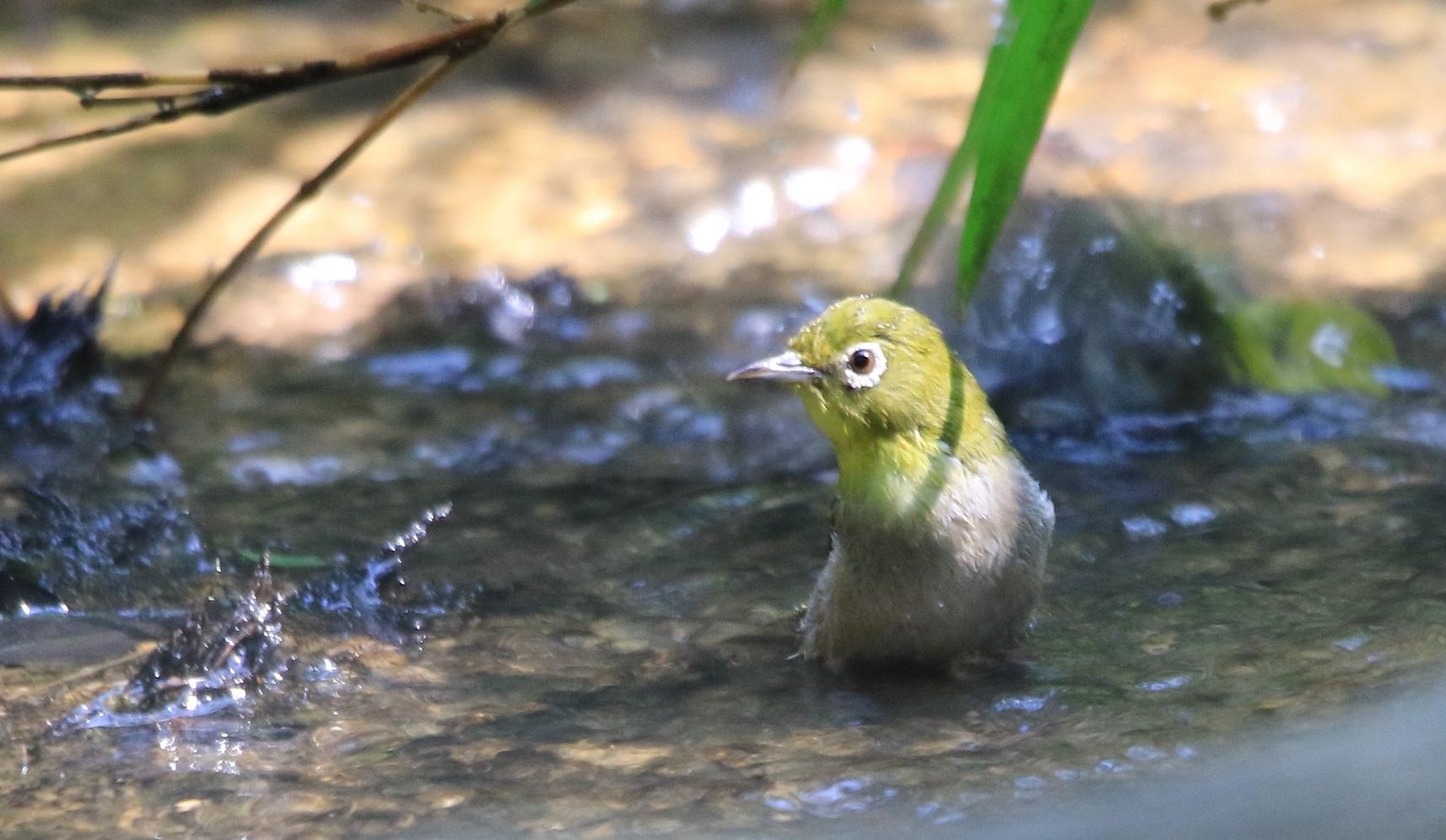 メジロの水浴び_f0364220_19595765.jpg