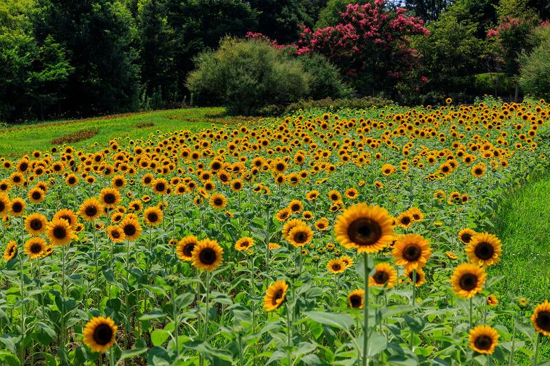 夏の花畑2019 馬見丘陵公園の向日葵たち_f0155048_23525956.jpg