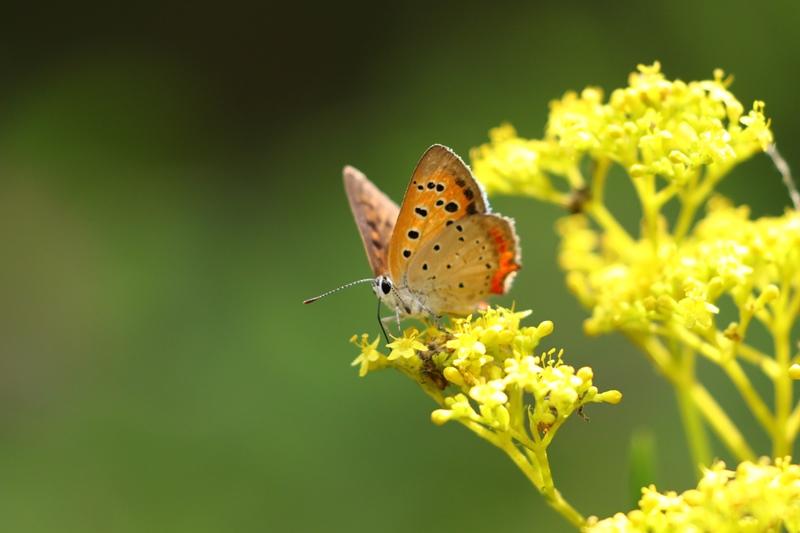 オミナエシにやって来る昆虫たち♪_a0167759_3104996.jpg