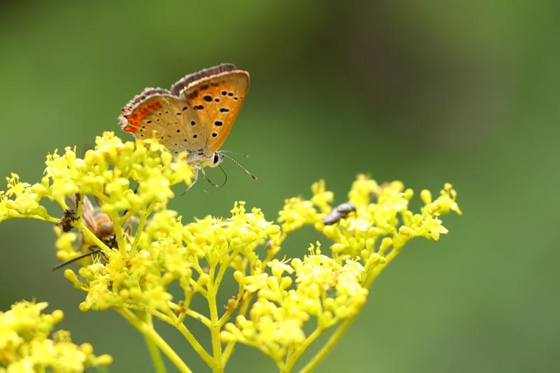 オミナエシにやって来る昆虫たち♪_a0167759_3111419.jpg