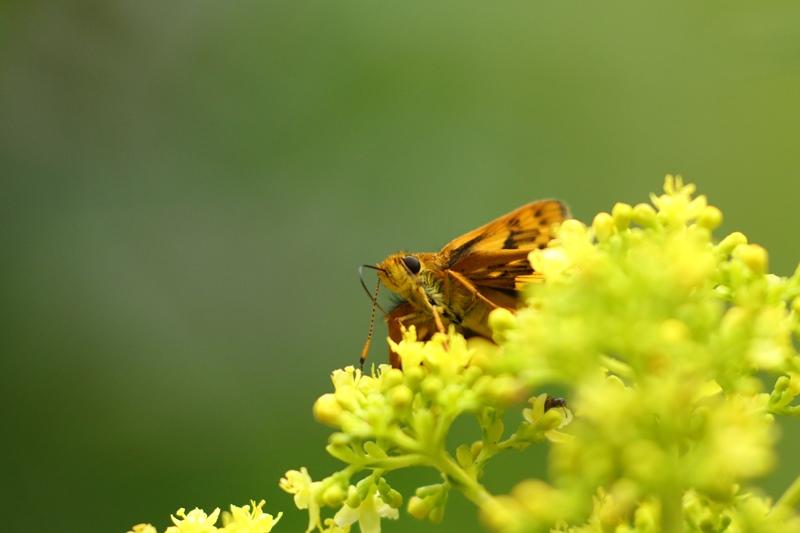 オミナエシにやって来る昆虫たち♪_a0167759_3121456.jpg