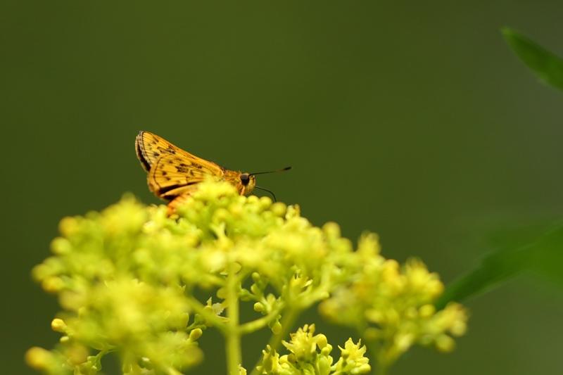 オミナエシにやって来る昆虫たち♪_a0167759_3124278.jpg