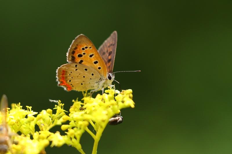 オミナエシにやって来る昆虫たち♪_a0167759_3155263.jpg