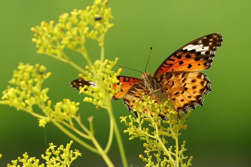 オミナエシにやって来る昆虫たち♪_a0167759_319046.jpg