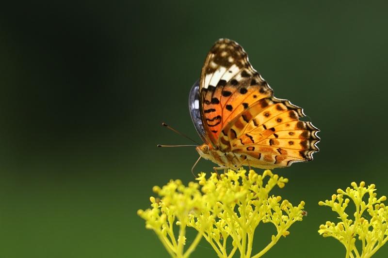オミナエシにやって来る昆虫たち♪_a0167759_3194611.jpg