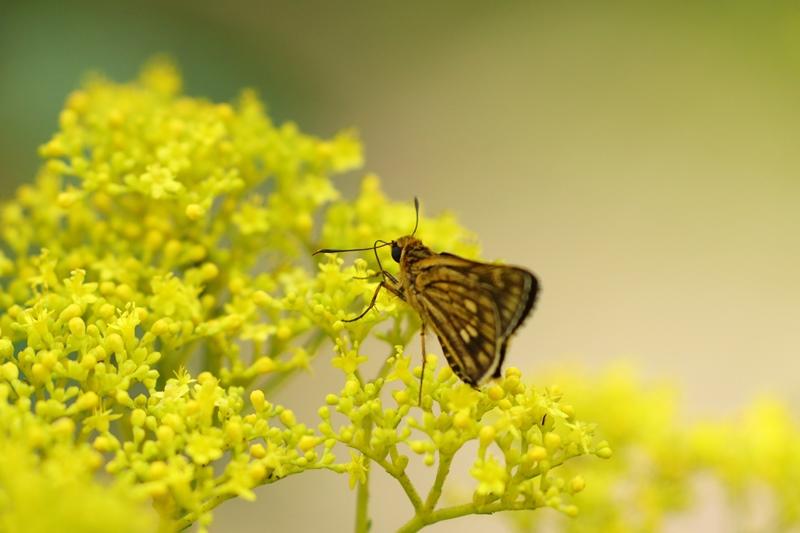 オミナエシにやって来る昆虫たち♪_a0167759_3201519.jpg
