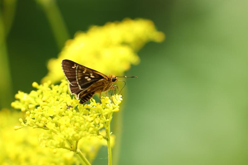 オミナエシにやって来る昆虫たち♪_a0167759_3203531.jpg