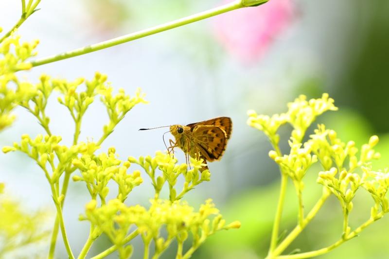 オミナエシにやって来る昆虫たち♪_a0167759_321064.jpg