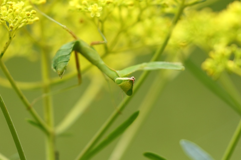 オミナエシにやって来る昆虫たち♪_a0167759_321473.jpg