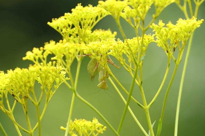 オミナエシにやって来る昆虫たち♪_a0167759_3215547.jpg