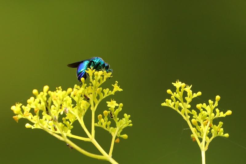 オミナエシにやって来る昆虫たち♪_a0167759_3927100.jpg