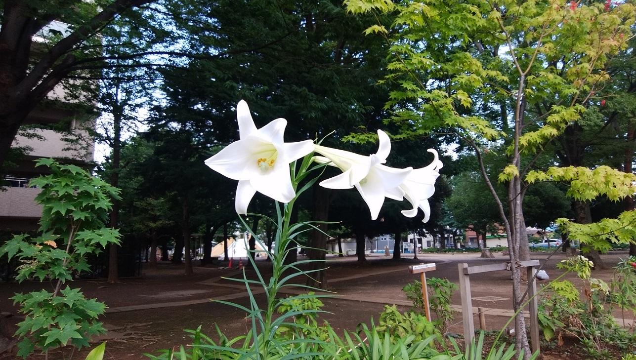 タカサゴユリ(高砂百合)_a0107574_14204847.jpg