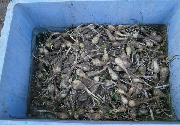 ラッキョウとジャガイモ植え付け_f0018078_17180354.jpg